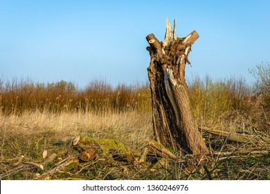 Old willow tree with a decayed trunk against a bright blue sky. The photo was taken in the Oostwaard polder in the Dutch nature reserve Biesbosch, North Brabant. It is a sunny morning in springtime.