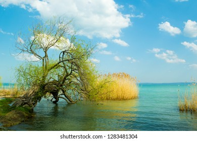 old willow tree on lakeside at spring