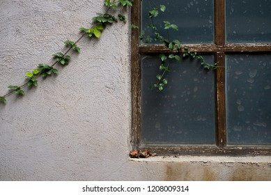 Old window with ivy on the wall.Vintage house with ivy and window.