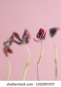 Old withered pink tulips on a pink background