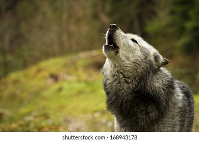 The old wolf howling