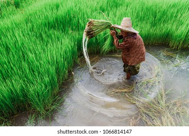 The old woman Asian rice farmer working at rice field.Outdoor working Thai farmer.High speed shutter stop water drops.