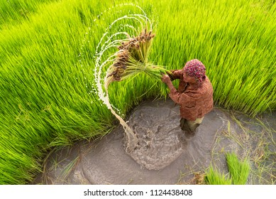 The old woman Asian rice farmer working and kick off the ground at rice field in rainy season.Outdoor working Thai farmer.High speed shutter stop water drops.