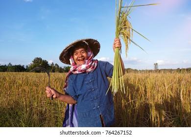 Old woman farmer working at rice field on harvest season.