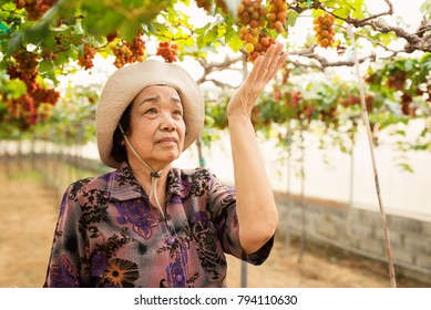 Old woman hand holding a branch of green blue grapes on the vine and the sunset bokeh background,relax,travel,concept.