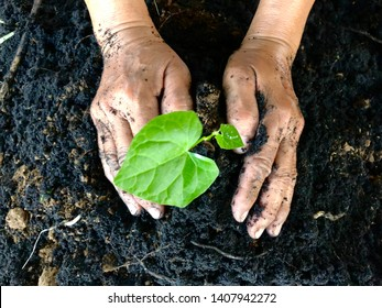 Old woman hand planting of small green tree on black soil background.Farmer hands growing plant a tree on soil.Good environment in ecology concept.