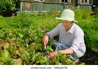 The old woman loosens the ground in the garden with young beets