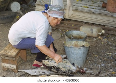 old woman pluck a feather of poultry outdoor