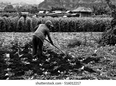 Old woman works in the kitchen garden. Black-white photo.