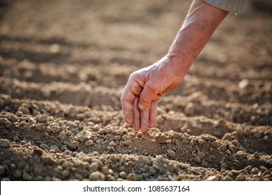 Old woman's farmer hand planting garlic seeds in the garden