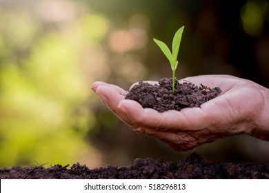 The old woman's hands are planting the seedlings into the soil.