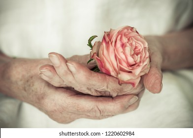 Old women hands hold a red rose. / Hands of an old woman are holding a rose