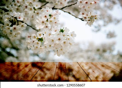Old wood floor with pink Sakura flowers blooming blossom , Close up sakura or cherry blossom; Japanese Spring Flower Sakura; Pink Cherry Flower