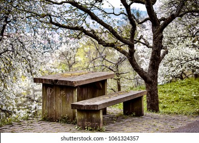 Old wooden table and bench in the orchard in Spring