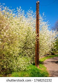 Old wooden telegraph pole on the side of the road with flowering wild cherry trees