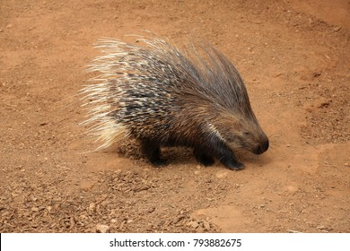 Old World porcupine or Hystricidae (Hystrix cristata)
