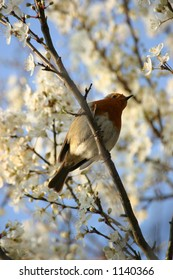 An Old World Robin, perched amongst fresh blossoms.