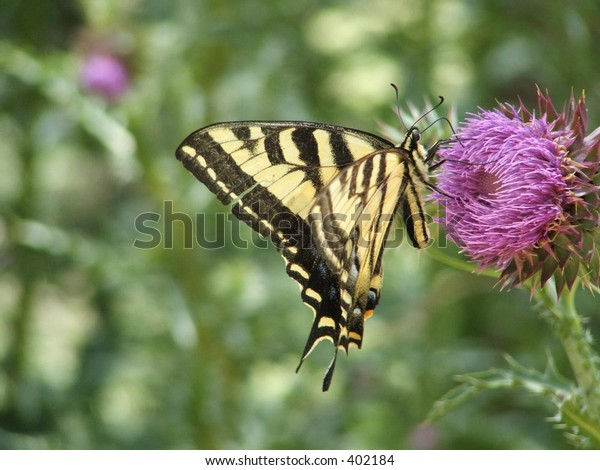 an Old world swallowtail