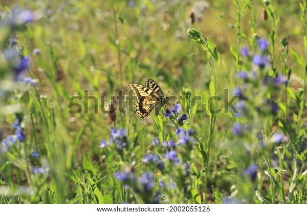 old-world-swallowtail-butterfly-foraging