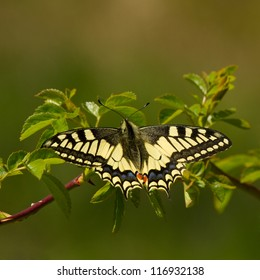 Old World Swallowtail butterfly in natural habitat (Papilio machaon)