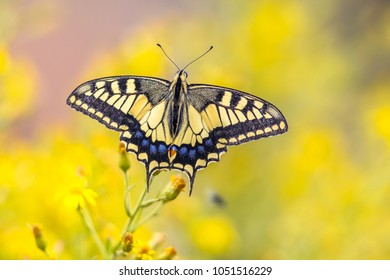 Old World swallowtail butterfly (Papilio machaon) perched on yellow flower with blurred background
