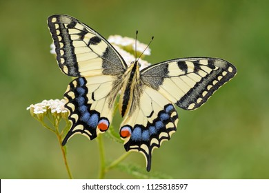 Old World Swallowtail butterfly - Papilio machaon, beautiful colored iconic butterfly from European meadows and grasslands.