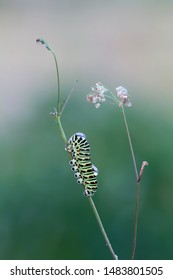 Old world swallowtail, Papilio machaon larva on plant photographed yerly morning after rain