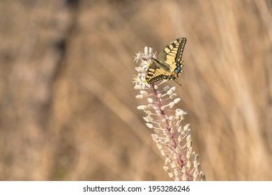 Old World Swallowtail (Papilio machaon) extracting nectar from Sea Squill (Drimia maritima)