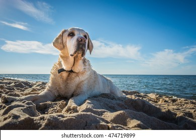 Old yellow dog Labrador Retriever is lying on the beach with full of sand close to seaside in Poland, blue sky in the background, hot and sunny summer