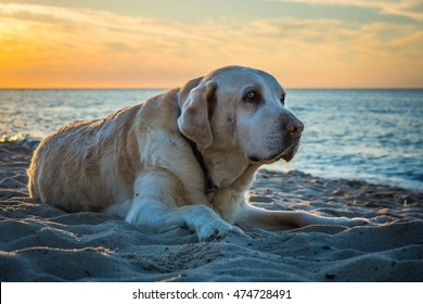 Old yellow dog Labrador Retriever is lying on the beach while sunset in the summertime, Poland, orange sky and blue sea
