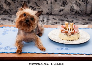 Old Yorkshire terrier birthdays with cake