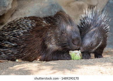 Old and young spiny porcupines eating salad.