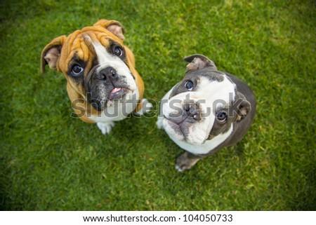 Olde English Bulldogge Pups Two Three Stock Photo Edit Now