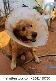 Olde golden retriver sick dog