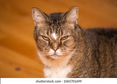 Older adult cat with black, brown, and white fur looking at the camera with a grumpy face.