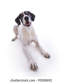older black and white great dane dog lying down on white background