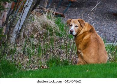 older dog peacefully enjoying the outdoors
