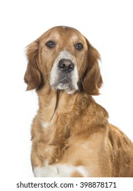 Older dog posing in a studio. The dog look like a golden retriever.
