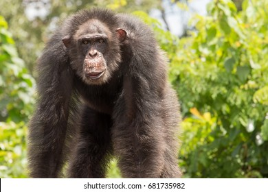 Older Dominant Male Chimpanzee