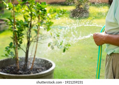 older farmer watering lime tree in organic orchard in morning