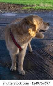 Older Golden Retriever bitch on walk