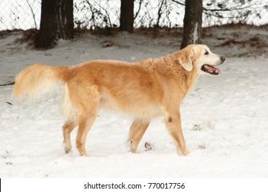 Older golden retriever on snow