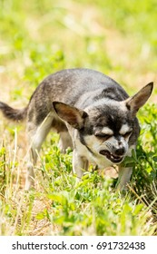 An older, grey and white, short haired Chihuahua female apparently in a quite mean mood.