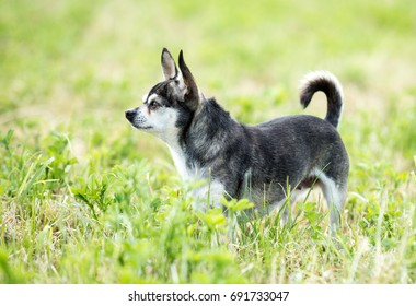 An older, grey and white, short haired Chihuahua female standing on a freshly mowed lawn, watching attentively.