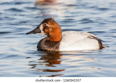 An older hen Canvasback displaying a more male like plumage swimming on the Choptank River, Maryland
