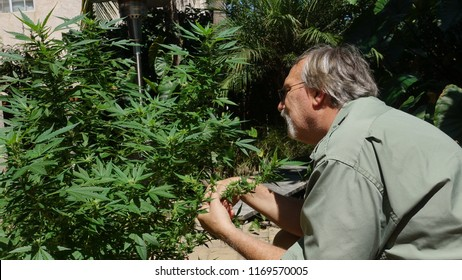 Older man cultivating and pruning medical marijuana plant in his backyard in California, removing water leaves to encourage bud