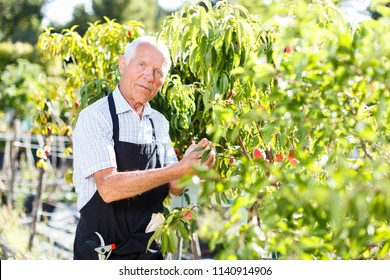 Older man enjoying his favourite pastime of gardening, checking state of fruit trees
