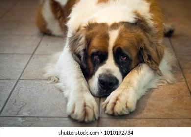 Older Saint Bernard lying on a kitchen floor looking sad or hungry