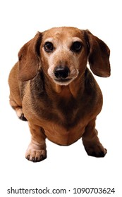 older short smooth red teckel dackel miniature dachshund dog with gray grey face snout on white background