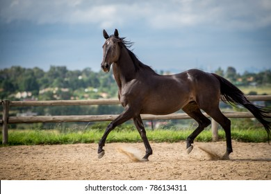 A older thoroughbred horse moving forward and flowing movement.